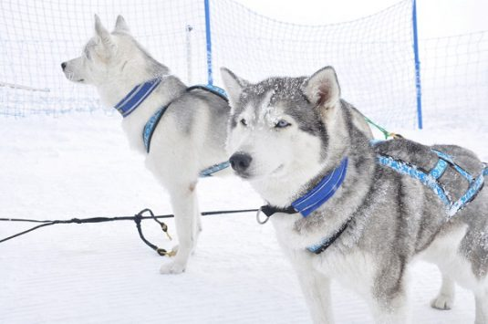 Dog sledding in Zermatt